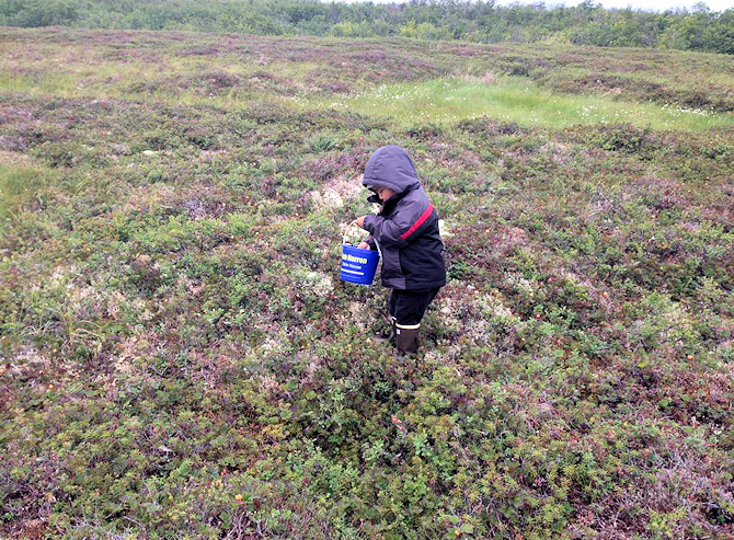 icking Salon Berries in the Kuskokwim tundra